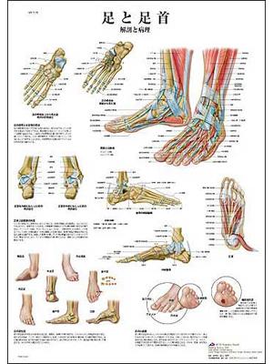 医学チャート 足と足首